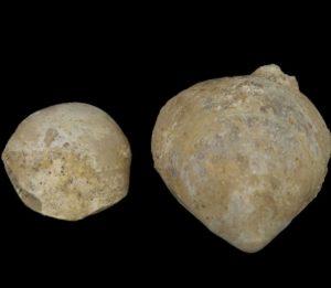 Concinnithyris_Subundata_Fossil_Brachiopod